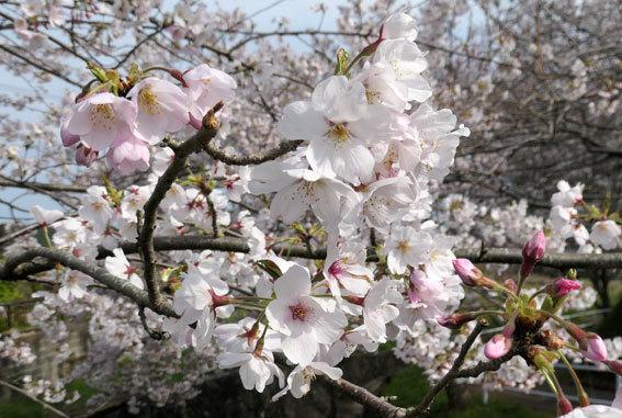 満開の桜にコイ泳ぐ_b0145296_17312500.jpg