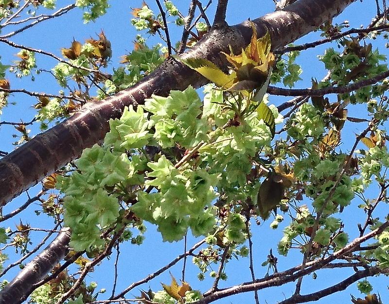 緑の桜_f0033598_09342968.jpg
