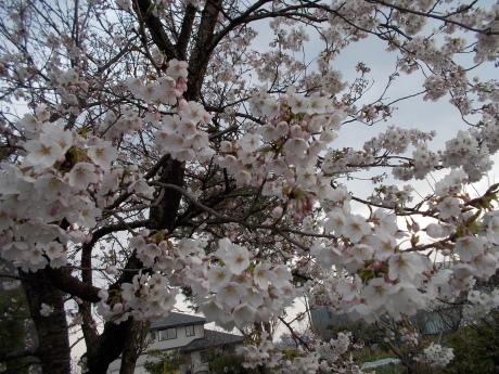 桜咲く・タネ大交換会など_a0203003_18030691.jpg