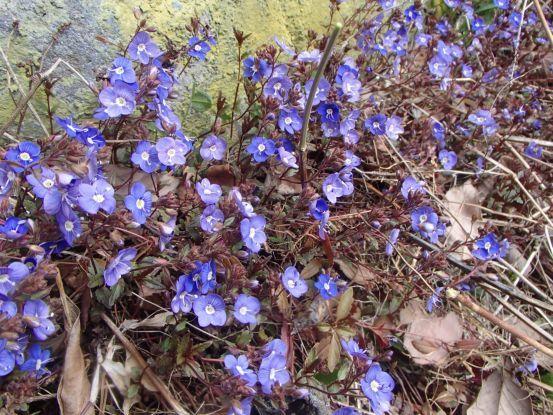 コブシが開花、桜はまだまだ_f0064906_14292987.jpg