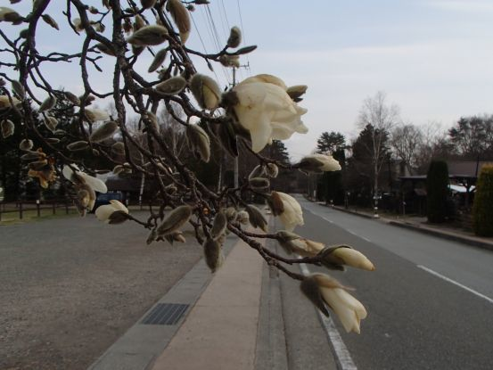 コブシが開花、桜はまだまだ_f0064906_14294606.jpg