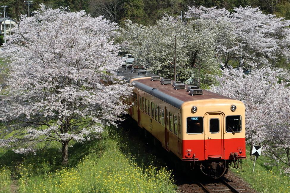 今年も花は咲いた - 2020年桜・小湊鉄道 -_b0190710_22234999.jpg