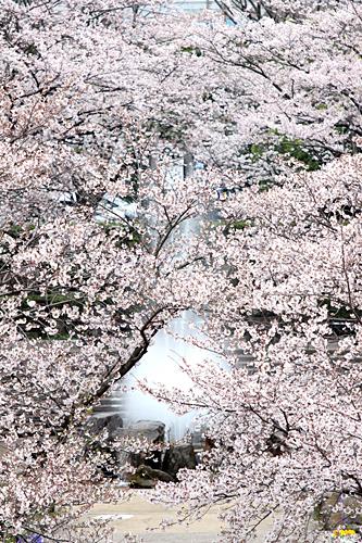 photo lesson - 桜その2_c0311715_17431740.jpg