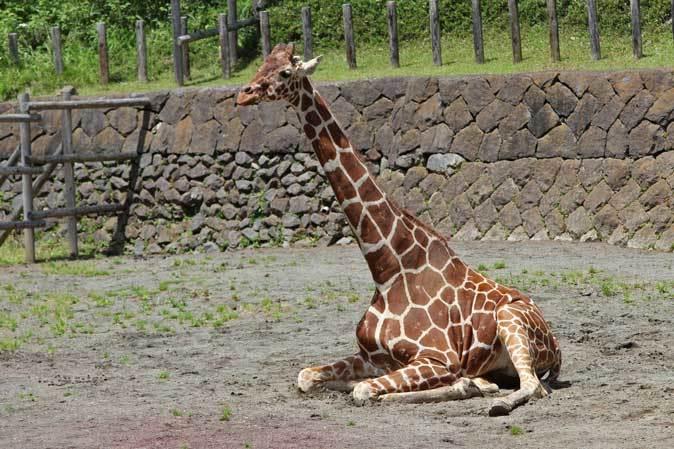 リラックス・キリン(多摩動物公園 May 2019)_b0355317_11505832.jpg