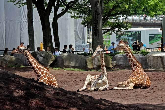リラックス・キリン(多摩動物公園 May 2019)_b0355317_11522816.jpg