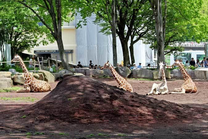 リラックス・キリン(多摩動物公園 May 2019)_b0355317_11532276.jpg