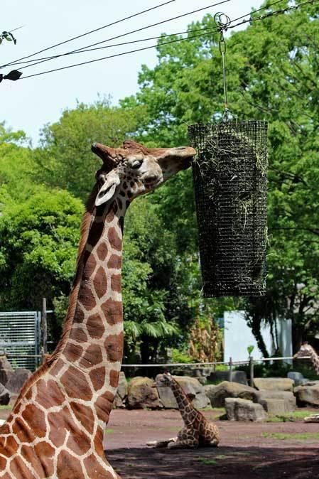 リラックス・キリン(多摩動物公園 May 2019)_b0355317_11545776.jpg
