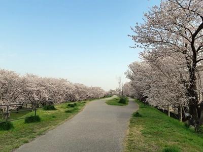早朝 桜ウォーキング_f0129726_20393326.jpg