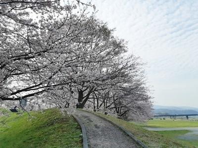 早朝 桜ウォーキング_f0129726_20394077.jpg