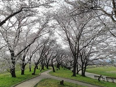 早朝 桜ウォーキング_f0129726_20394356.jpg