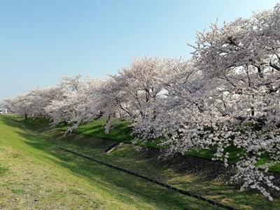早朝 桜ウォーキング_f0129726_20394938.jpg