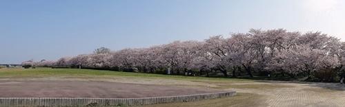 早朝 桜ウォーキング_f0129726_20395147.jpg