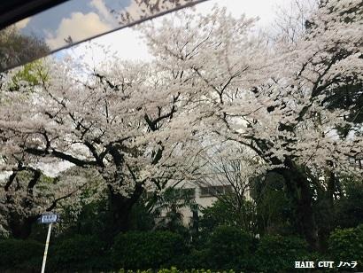桜_e0145332_20465971.jpg