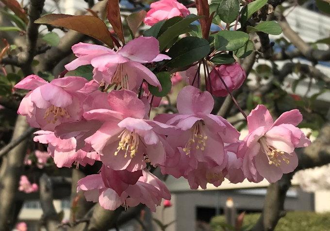 ご近所の桜 その2 葉桜になっちゃったけど、それを愛でながらせっせと歩く篇_d0027243_07494924.jpg