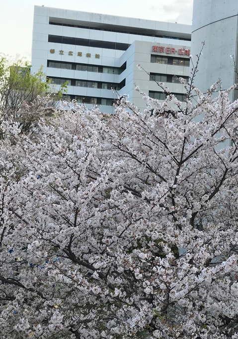 ご近所の桜 その2 葉桜になっちゃったけど、それを愛でながらせっせと歩く篇_d0027243_07495010.jpg