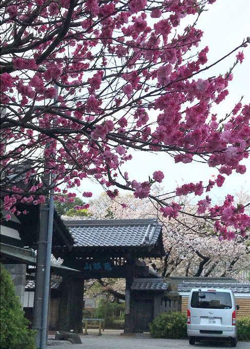 ご近所の桜 その2 葉桜になっちゃったけど、それを愛でながらせっせと歩く篇_d0027243_07495019.jpg