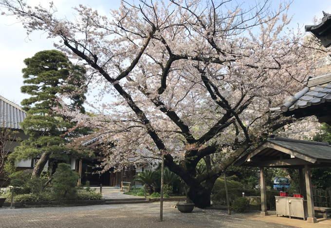 ご近所の桜 その2 葉桜になっちゃったけど、それを愛でながらせっせと歩く篇_d0027243_07495021.jpg