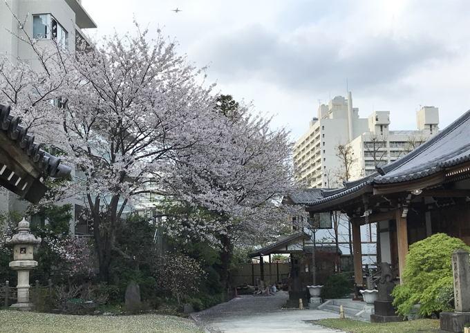 ご近所の桜 その2 葉桜になっちゃったけど、それを愛でながらせっせと歩く篇_d0027243_07495043.jpg