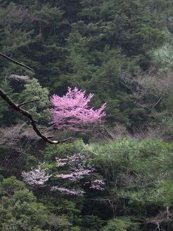 満開の山桜と湯の花とバクテリア・オマケはマンガン鉱石【奈良・奥入之波】3/28_d0387443_21163688.jpg
