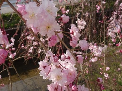 今日見た桜_c0394349_20261172.jpg
