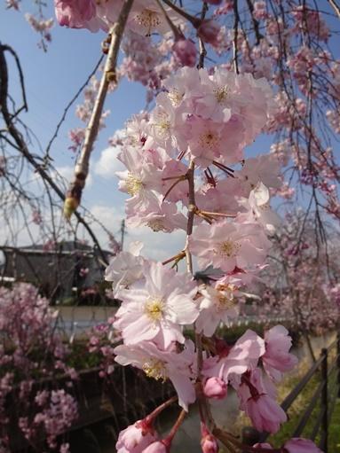 今日見た桜_c0394349_20261951.jpg