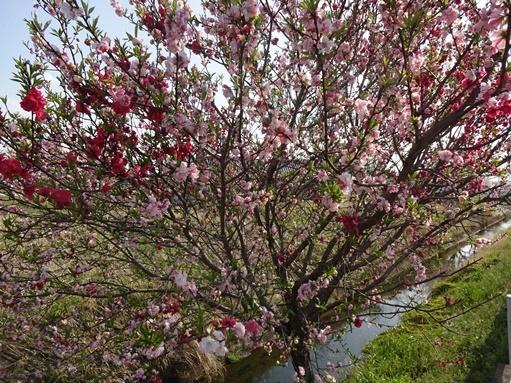今日見た桜_c0394349_20262872.jpg