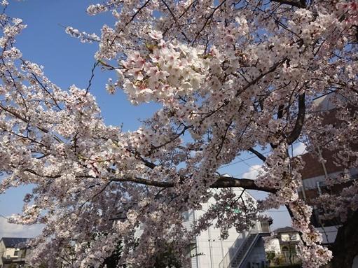 今日見た桜_c0394349_20263749.jpg
