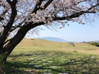 大歳山遺跡公園の桜が満開です!_f0079749_15200380.jpg