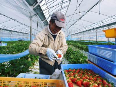 熊本イチゴ『熊紅(ゆうべに)』 美味しさと安全にこだわる朝採りの新鮮イチゴをお届けします!_a0254656_17143349.jpg
