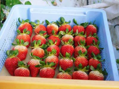 熊本イチゴ『熊紅(ゆうべに)』 美味しさと安全にこだわる朝採りの新鮮イチゴをお届けします!_a0254656_17153224.jpg