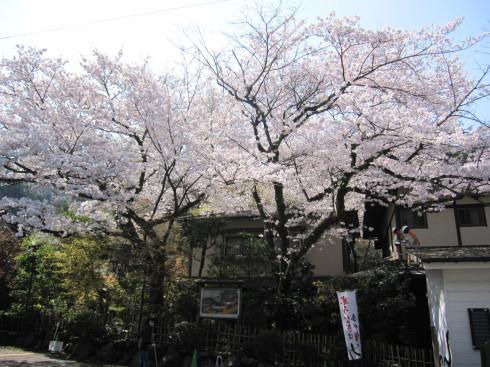 2020年4月4日 桜実況中継_c0078659_13304851.jpg