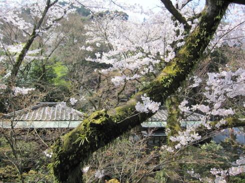 2020年4月4日 桜実況中継_c0078659_13381226.jpg
