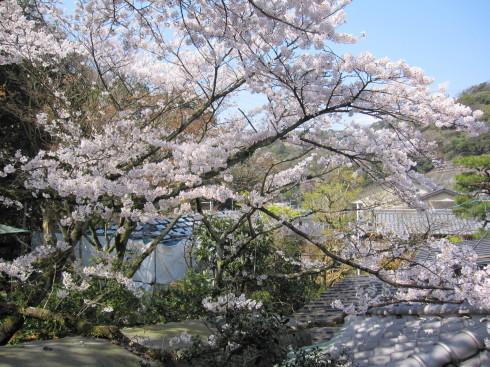2020年4月4日 桜実況中継_c0078659_13430660.jpg