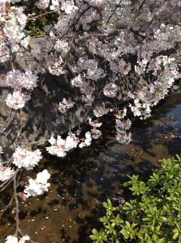 京都桜たより 2020_b0153663_14250298.jpeg