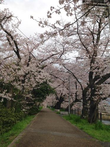 京都桜たより 2020_b0153663_14311920.jpeg