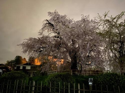 京都桜たより 2020_b0153663_14341902.jpeg