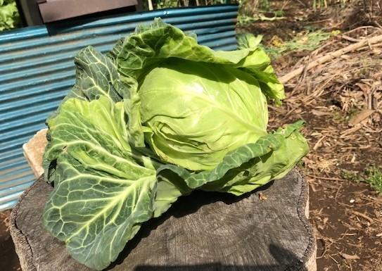初収穫した春キャベツは孫のリー君たちに4・3_c0014967_06574143.jpg