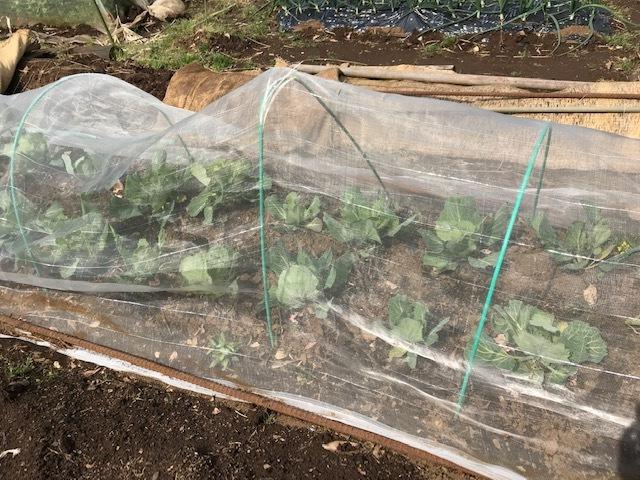初収穫した春キャベツは孫のリー君たちに4・3_c0014967_06583784.jpg