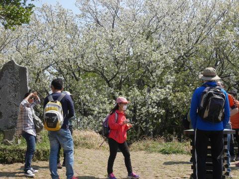 天望台周辺のヤマザクラ満開4・4六国見山夫婦桜now_c0014967_18054728.jpg