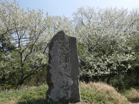天望台周辺のヤマザクラ満開4・4六国見山夫婦桜now_c0014967_18060460.jpg