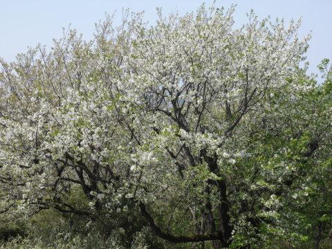 天望台周辺のヤマザクラ満開4・4六国見山夫婦桜now_c0014967_18070826.jpg