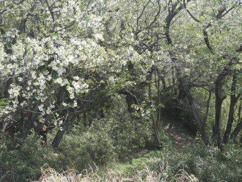 天望台周辺のヤマザクラ満開4・4六国見山夫婦桜now_c0014967_18072030.jpg