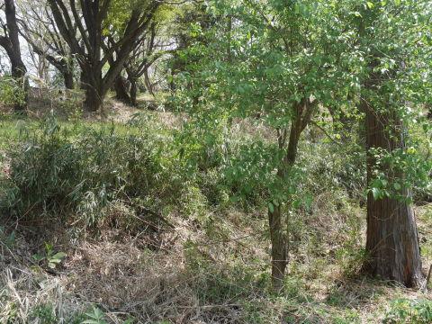 天望台周辺のヤマザクラ満開4・4六国見山夫婦桜now_c0014967_18081243.jpg