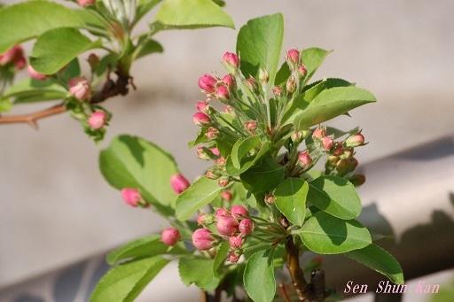 りんごの花  2020年4月4日_a0164068_22075107.jpg