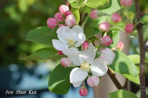 りんごの花  2020年4月4日_a0164068_22075239.jpg
