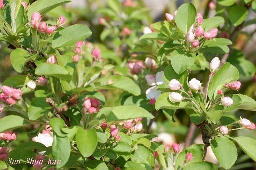 りんごの花  2020年4月4日_a0164068_22075248.jpg