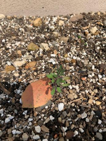 自然に育ってるミニトマト!_a0077071_15185236.jpg