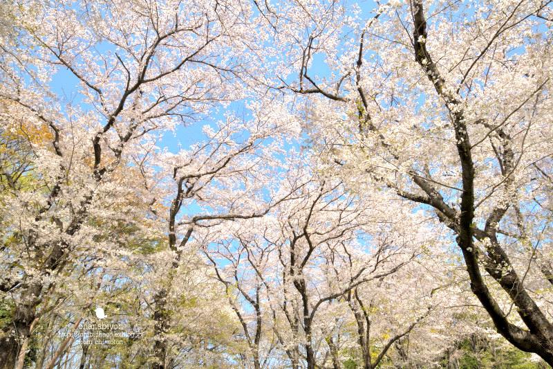 マイフィールドの桜_c0319774_01372572.jpg