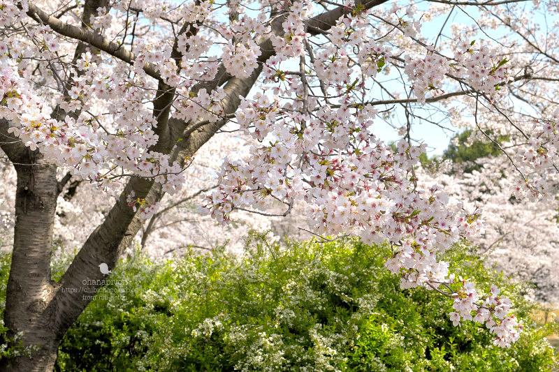 マイフィールドの桜_c0319774_01375167.jpg