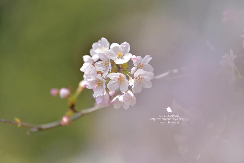 マイフィールドの桜_c0319774_01381325.jpg
